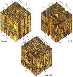 Схемы анатомического строения разных пород дерева